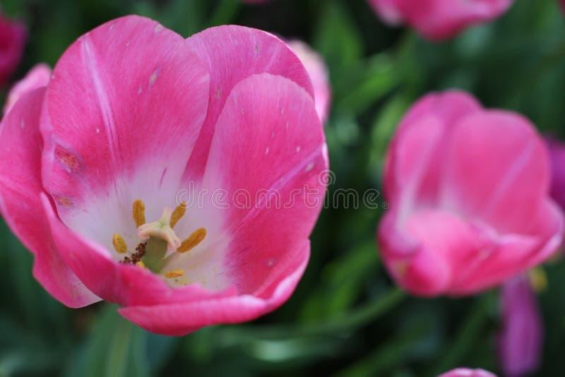 Beautiful Pink Spring Tulip Bloom royalty free stock photo