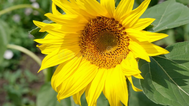Close-up of colorful sunflower, sunflower`s field, green leaves. Close-up picture of sunflower`s field, green leaves royalty free stock image