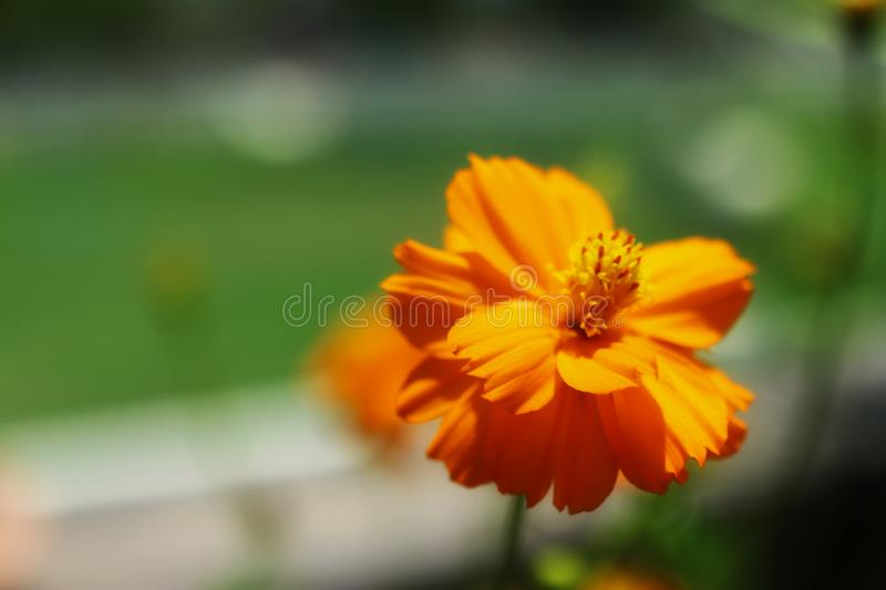 Close-up pictures of beautiful orange flowers, outdoor, green background, leaves, nature. Asis royalty free stock images
