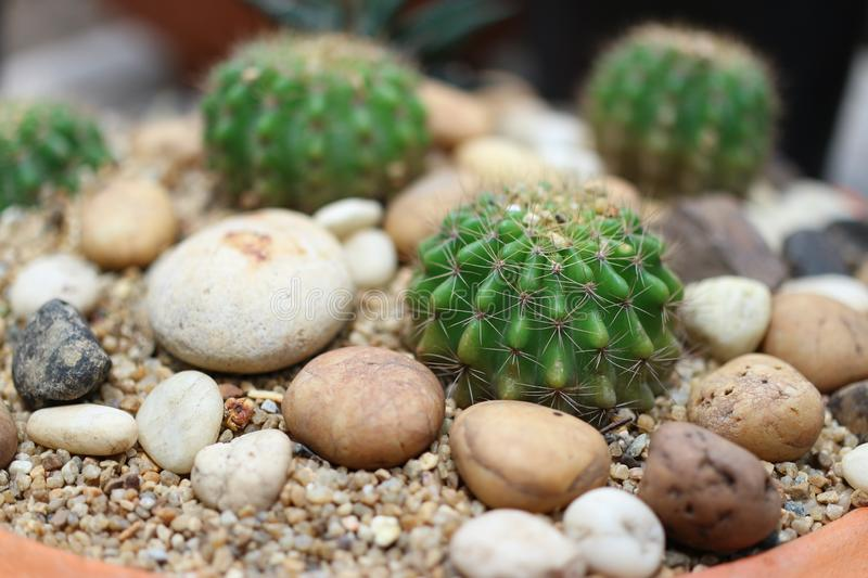 Close-up pictures of the beauty of the cactus in the garden with decorative stones stock photography