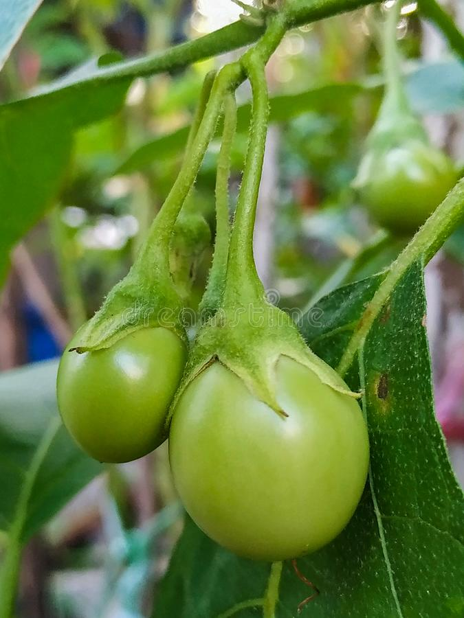 Close-up pictures of the eggplant stock images