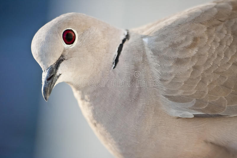 Close up pigeon stock photography
