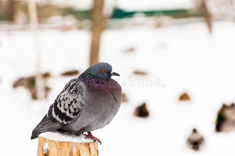 Close-up of a pigeon. Winter day in the city Park royalty free stock image