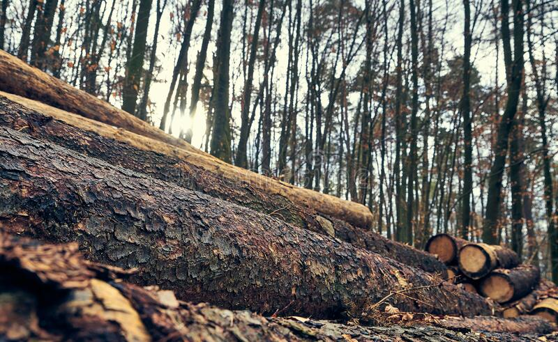 Close up of pile of cut logs in the forest. In a sunny winter day royalty free stock photos