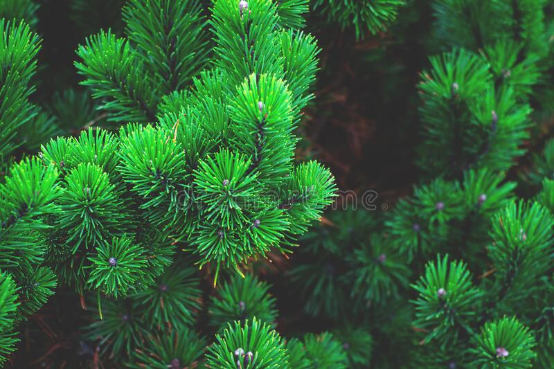 Close up of pine branches royalty free stock photos