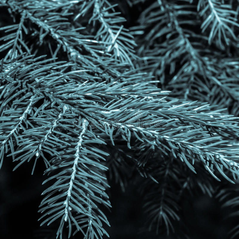Close up of Pine Needle Branch B stock photos