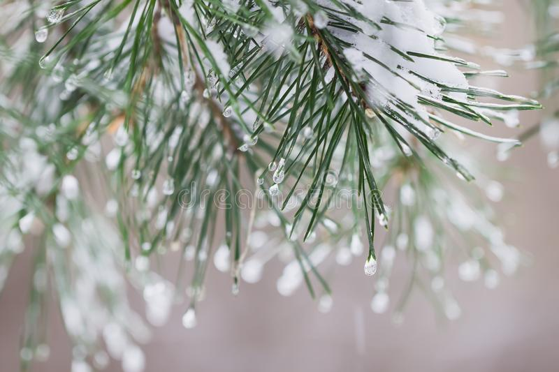 Close-up of Pine needles with ice drops, natur bokeh. Fir branches. For winter, spring, Merry christmas, happy new year royalty free stock image