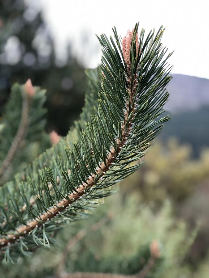 Close-up of a pine tree branch. In a sunny day royalty free stock image
