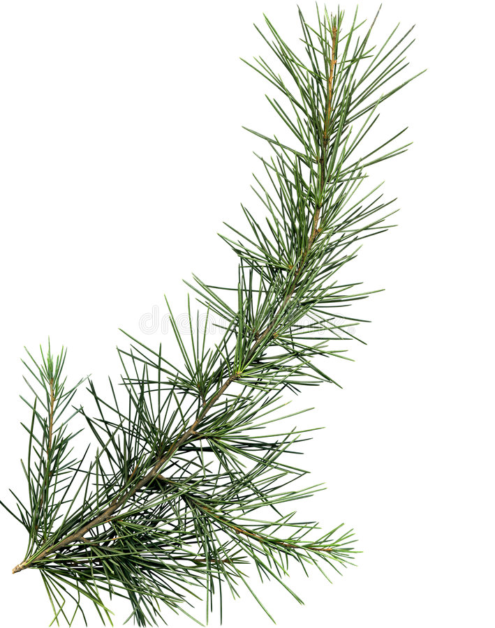 Close up of pine tree branch royalty free stock photo
