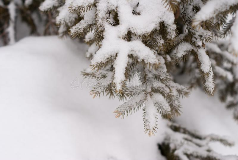 Close up of pine tree branch covered with snow with snow in the foreground. In winter royalty free stock image