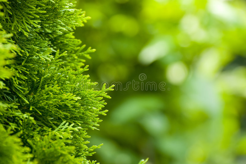 Download Close-up Of Pine Tree Branches Stock Image - Image: 5809477