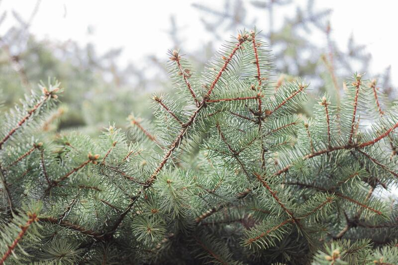 Close up of pine tree branches. Close up  of pine tree branches. Blurred green tree branches in background royalty free stock photo