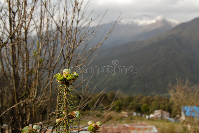 Close uppine tree. With snow mountain background royalty free stock photo