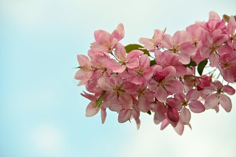 Close up pink Asian wild crabapple tree blossom. With leaves over blue sky background with copy space, low angle view stock images