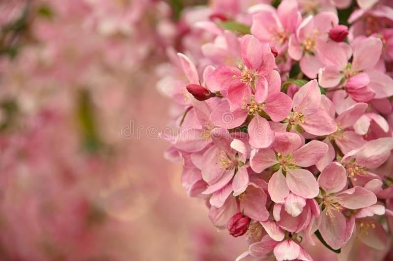 Close up pink Asian wild crabapple tree blossom. With leaves over green background with copy space, low angle view stock images
