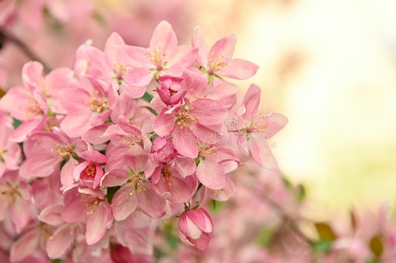 Close up pink Asian wild crabapple tree blossom. With leaves over green background with copy space, low angle view royalty free stock images