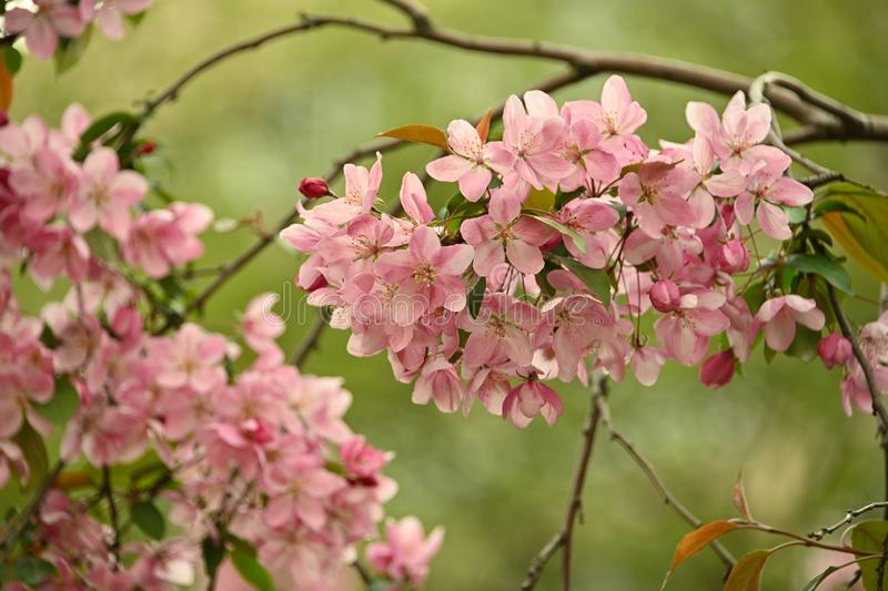 Close up pink Asian wild crabapple tree blossom. With leaves over green background with copy space, low angle view stock image