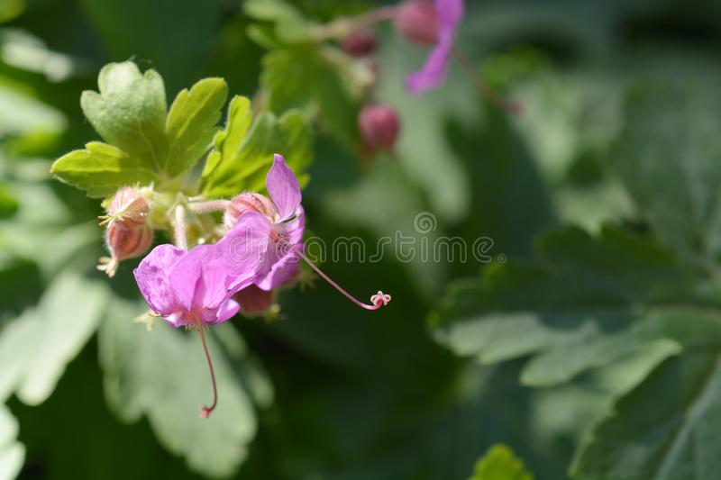 Download Bigroot geranium stock photo. Image of flower, geranium - 115233658