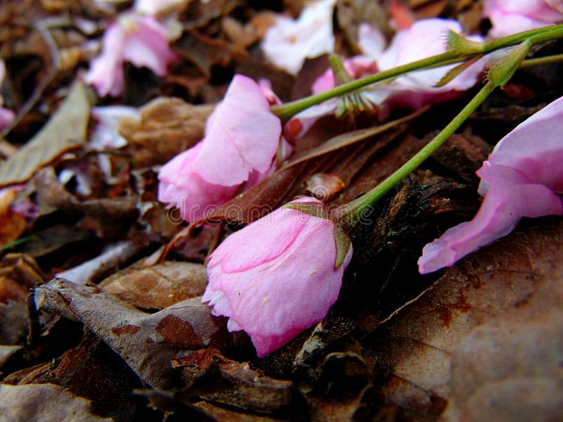 Pink cherry blossom petals laying on a ground of bark stock photo