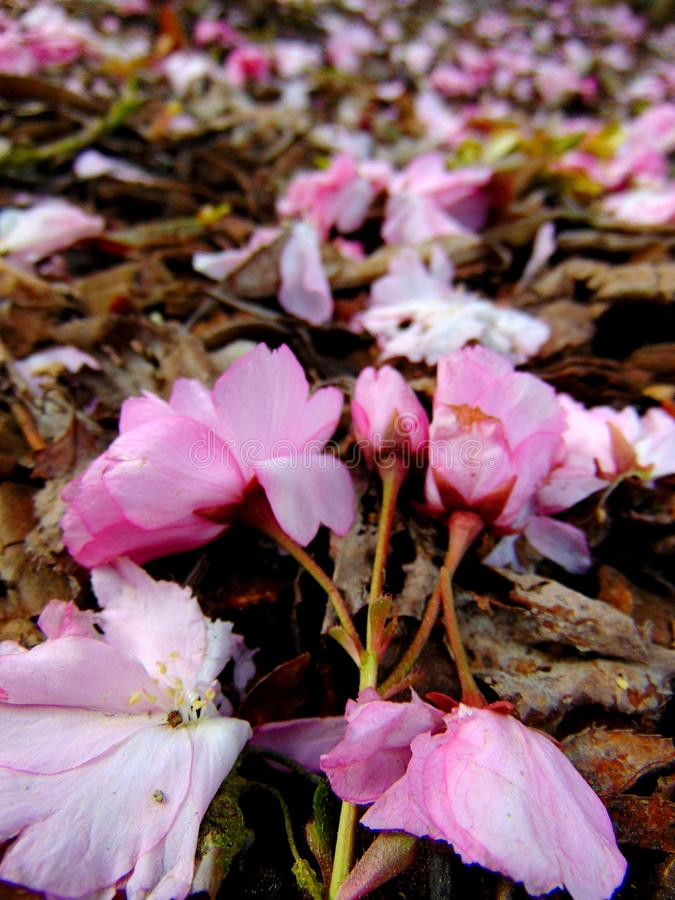 Pink cherry blossom petals laying on a ground of bark stock photography