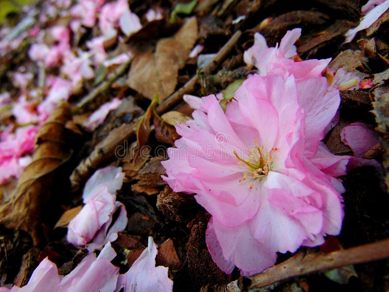 Pink cherry blossom petals laying on a ground of bark royalty free stock photo