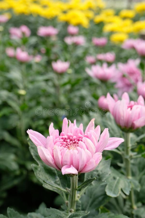 Close up pink chrysanthemum flower bloom beautiful, flower in garden, The concept of summer. Or spring with copy space stock photo