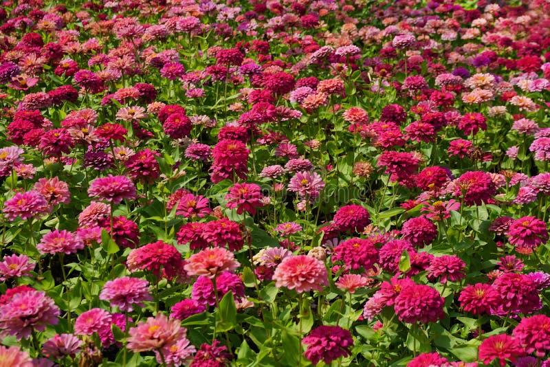 Pink chrysanthemum flower in the garden. Close up pink chrysanthemum flower in the garden stock photos