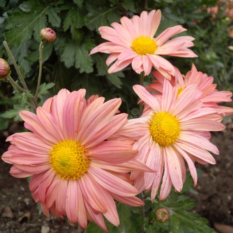 Close up of pink Chrysanthemums flowers on green garden background. Beautiful pink flowers as background picture. Chrysanthemum in stock photography