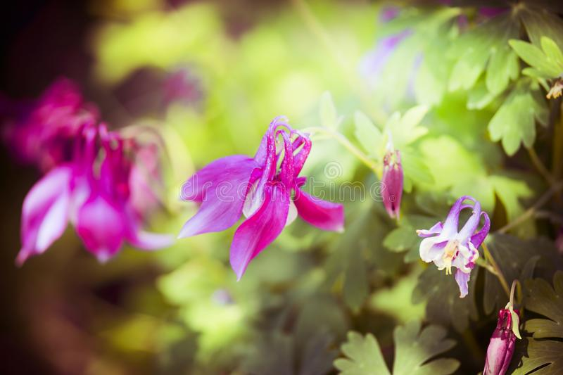 Close up of pink columbine flowers stock images