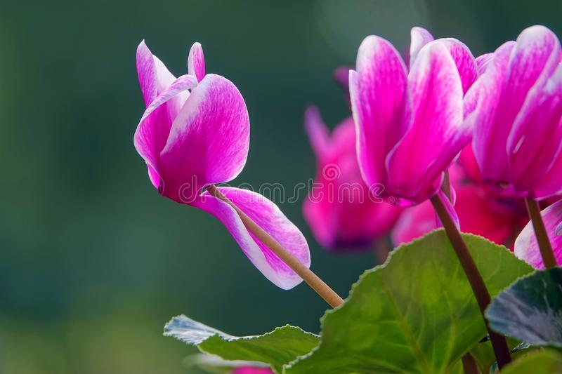 Cyclamen flower royalty free stock images