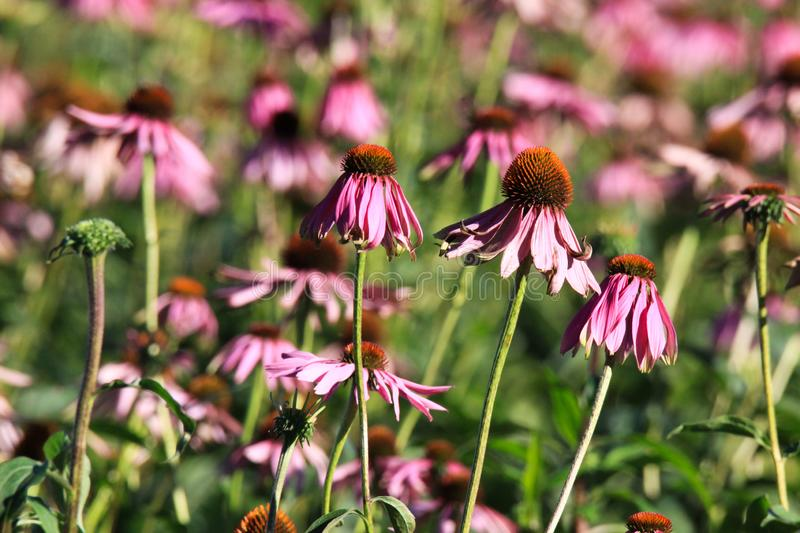 Close up of pink echinacea purpurea blossoms before fading in bright autumn sun and blurred green background - Roermond, stock photo