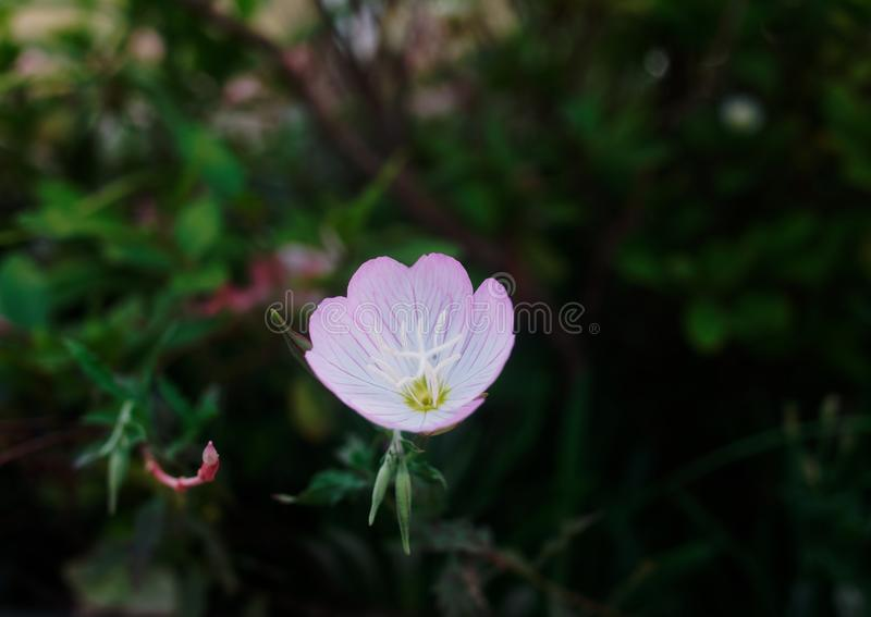 Close-up of pink evening primrose royalty free stock photography