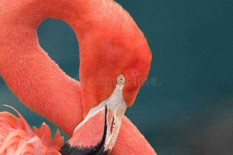 Download Close Up Of A Pink Flamingo Stock Photo - Image of color, greater: 162430