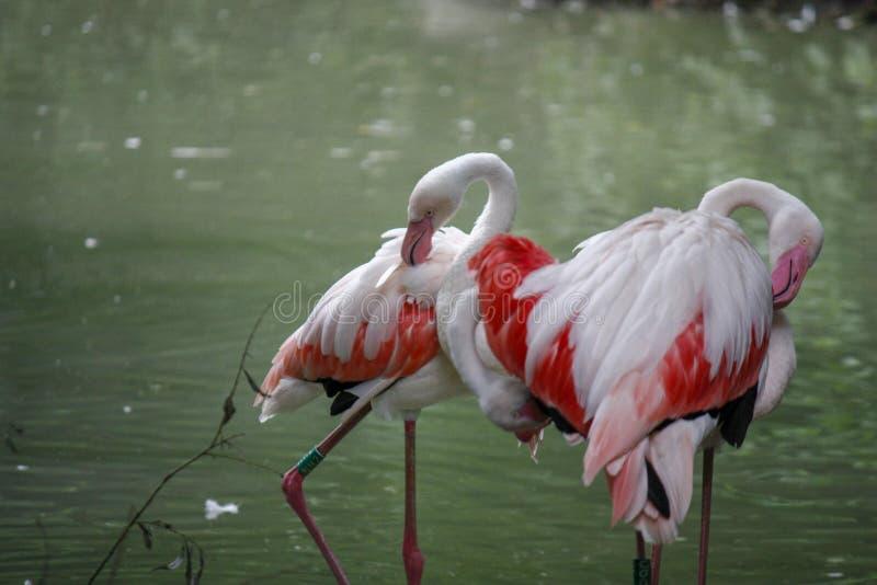 Close up of a pink flamingo bird on dark green background. Closeup of pink flamingo birds on a dark green background in a zoo, woman, water, food, person, girl royalty free stock photos