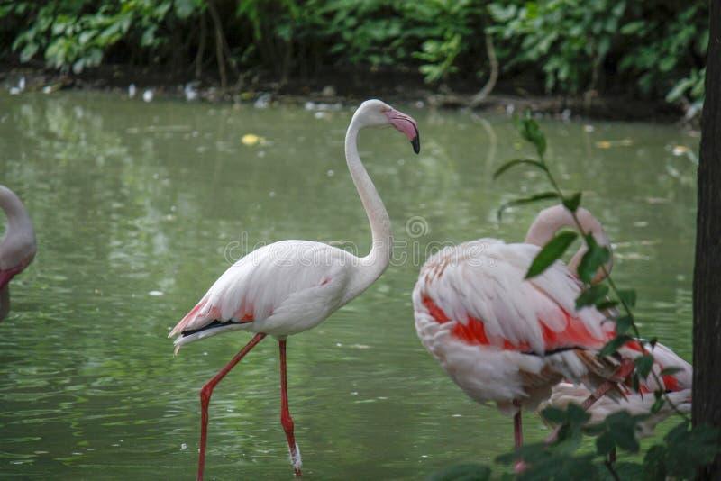 Close up of a pink flamingo bird on dark green background. Closeup of pink flamingo birds on a dark green background in a zoo, woman, water, food, person, girl stock photos