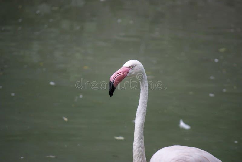 Close up of a pink flamingo bird on dark green background. Closeup of pink flamingo birds on a dark green background in a zoo, woman, water, food, person, girl royalty free stock photography