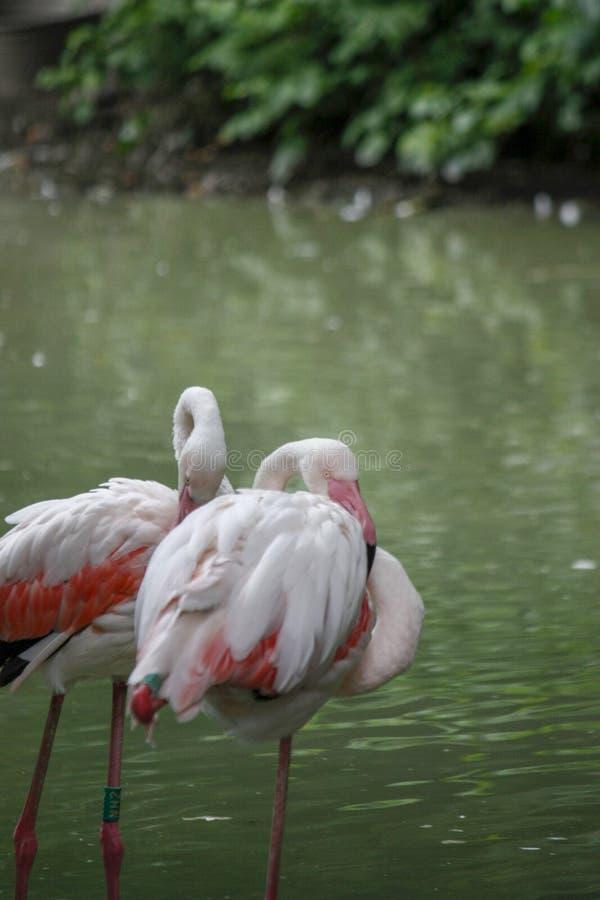 Close up of a pink flamingo bird on dark green background. Closeup of pink flamingo birds on a dark green background in a zoo, woman, water, food, person, girl royalty free stock image