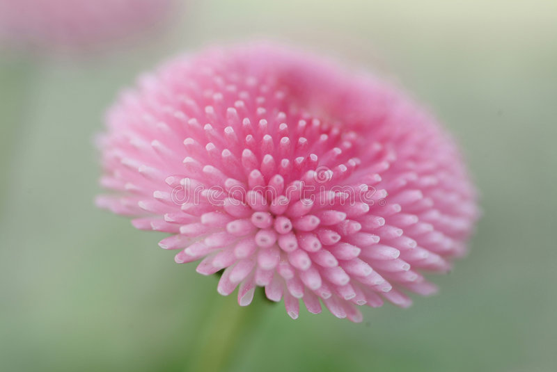 Close-up of a pink flower stock image