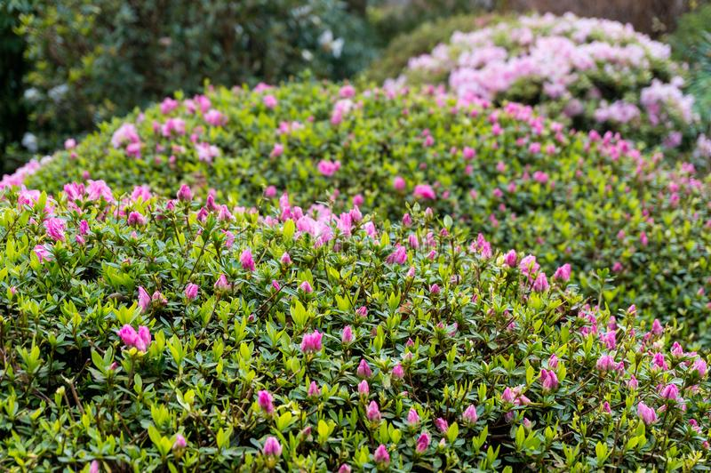 Close up of pink flower buds on a hedge shrub in the garden. Ornamental hedge plants landscape design springtime natural background royalty free stock photography