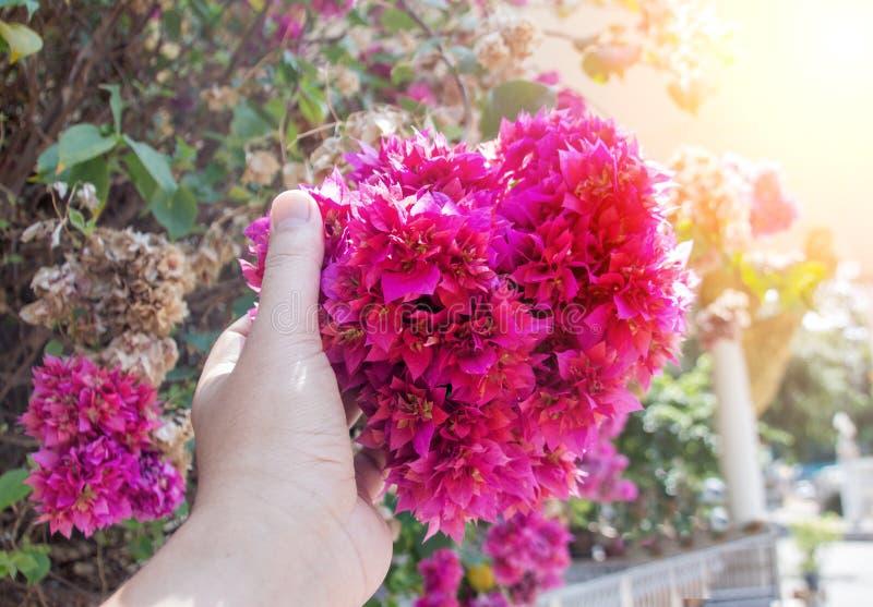 Pink flower bush in love season. Close up pink flower bush like heart shape in love season in garden stock image