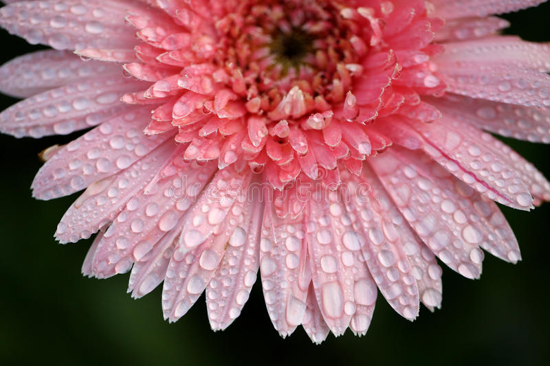 Close up of Pink flower with raindrop. Thankyou for your support royalty free stock images