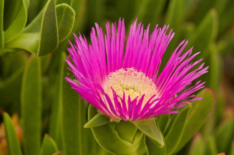 Close up of pink flower of succulent plant carpobrotus edulis. In summer stock photography