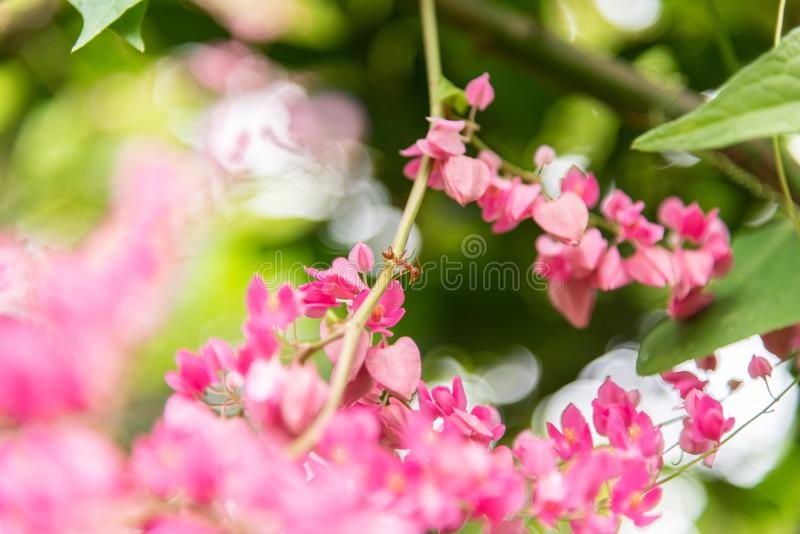 Close-Up Of Pink Flowering Plant and red ant. Center stock images