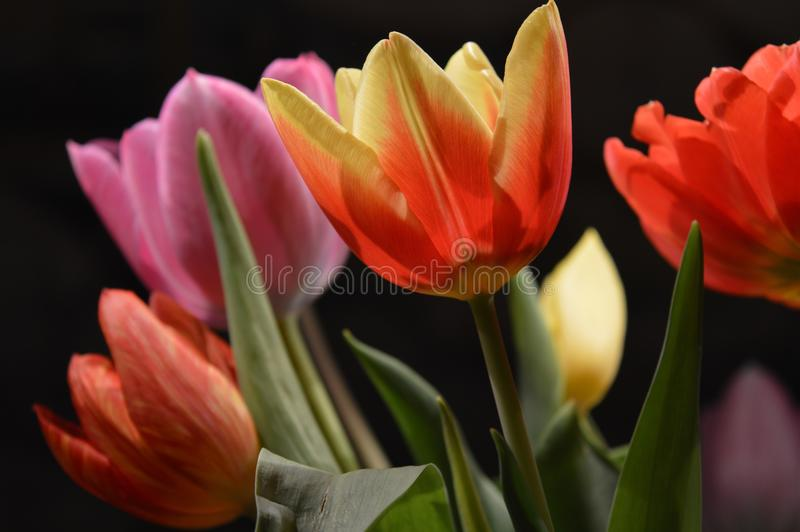 Close-up of Pink Flowers Blooming Against Black Background royalty free stock photography