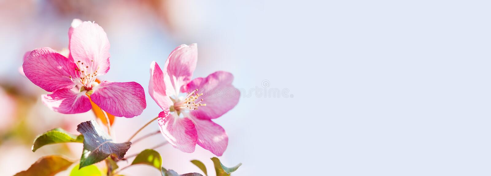 Close-up pink flowers spring background. Soft and tender cherry blossom tree branch, copy space stock photo