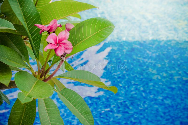 Close up Pink Frangipani or Plumeria flower and green leaves with swimming pool in the background. stock images