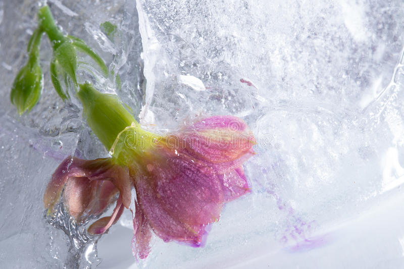 Close up of pink frozen flower in ice cube royalty free stock photography