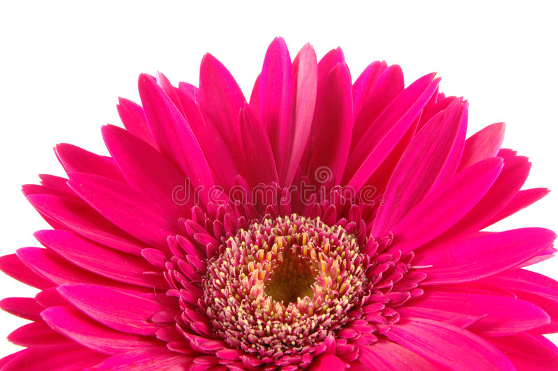 Download Close Up Of Pink Gerber Daisy Stock Image - Image: 891943
