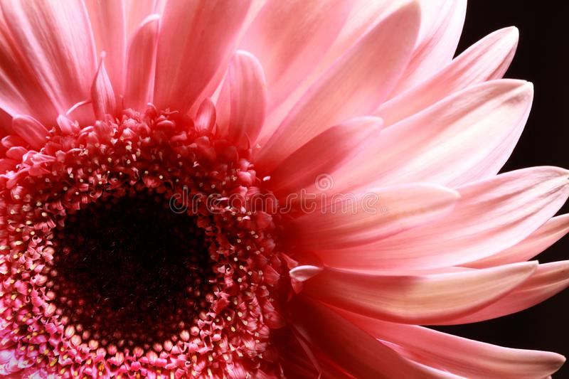 Close up of a pink gerbera flower royalty free stock image