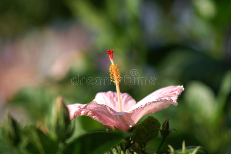 Close up of Pink Hibicus royalty free stock photos
